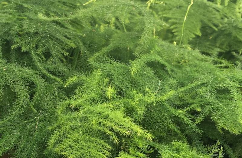 asparagus fern plant