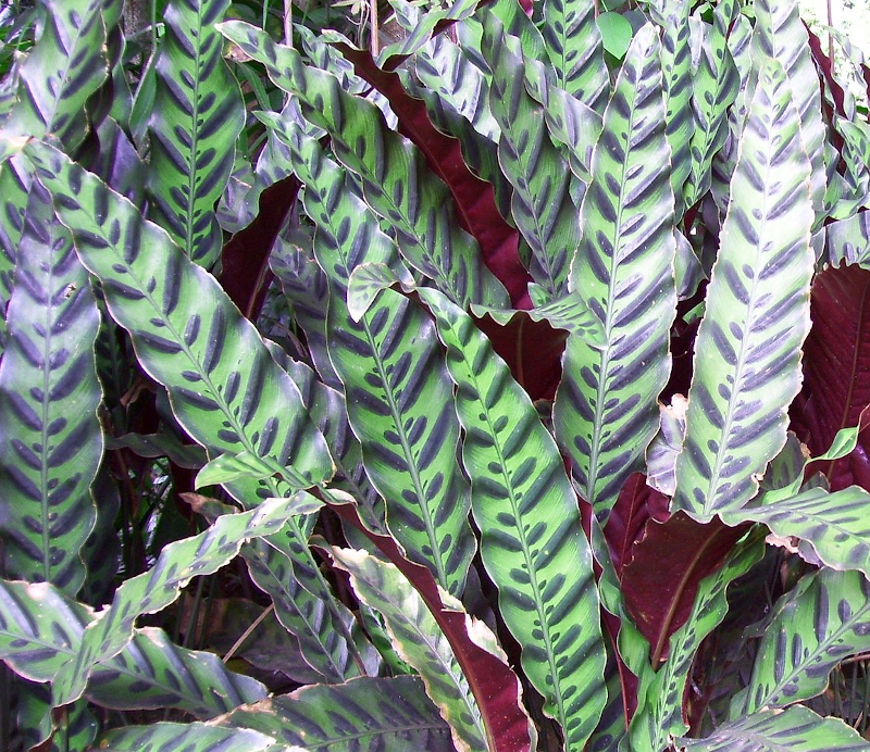 caring for calathea