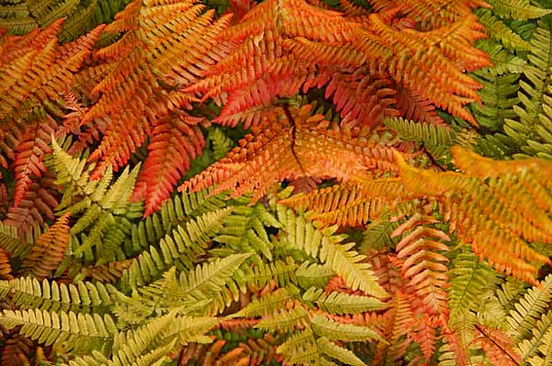 autumn fern care guide