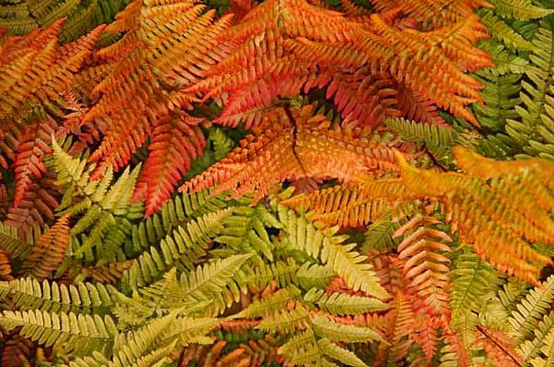 autumn fern care guide