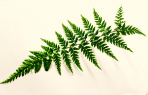 best ferns for your house