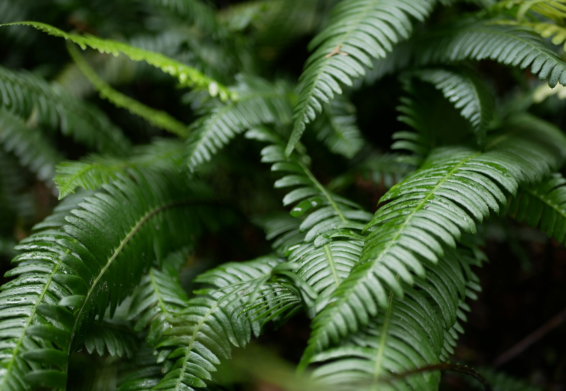 western sword fern care