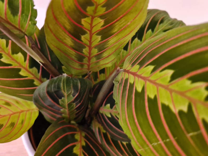 are prayer plants easy to grow