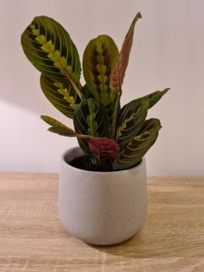 how long does a prayer plant live