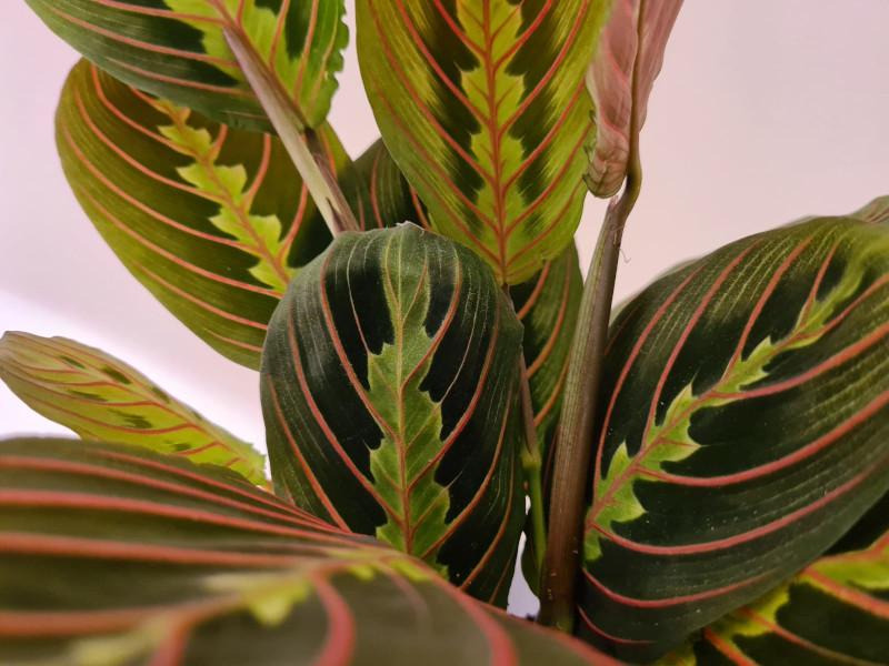 should i mist my prayer plant
