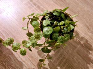 peperomia prostrata care