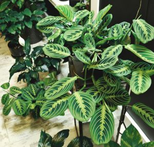 prayer plant leaves turning brown
