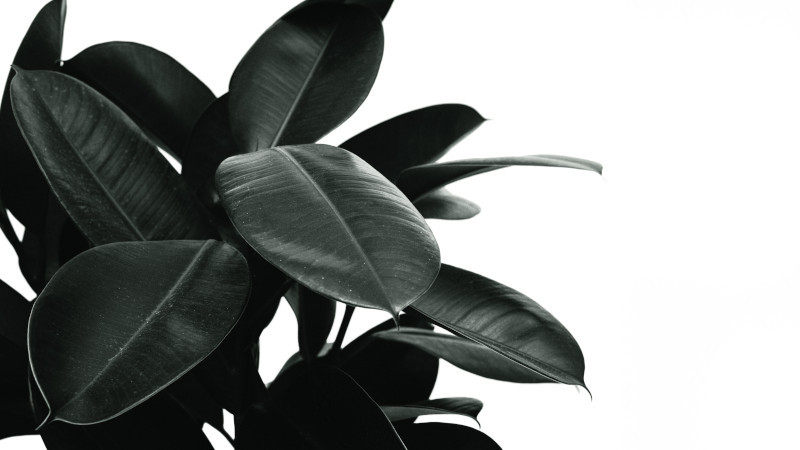 pruning rubber tree plants videos