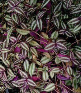 green leaves purple undersides