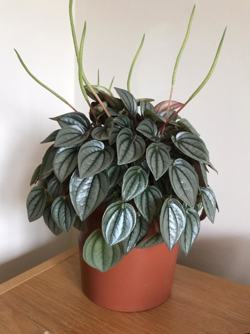 Peperomia Napoli Nights Care Guide Osera