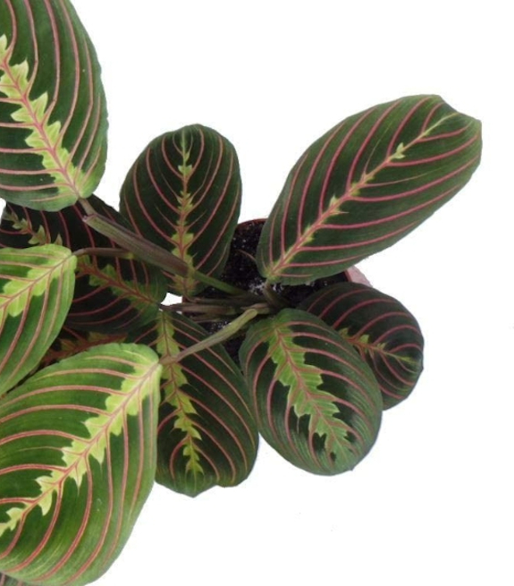 prayer plant leaves turning yellow