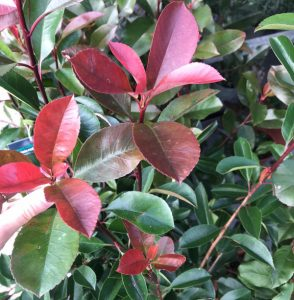 red and green leaved plant