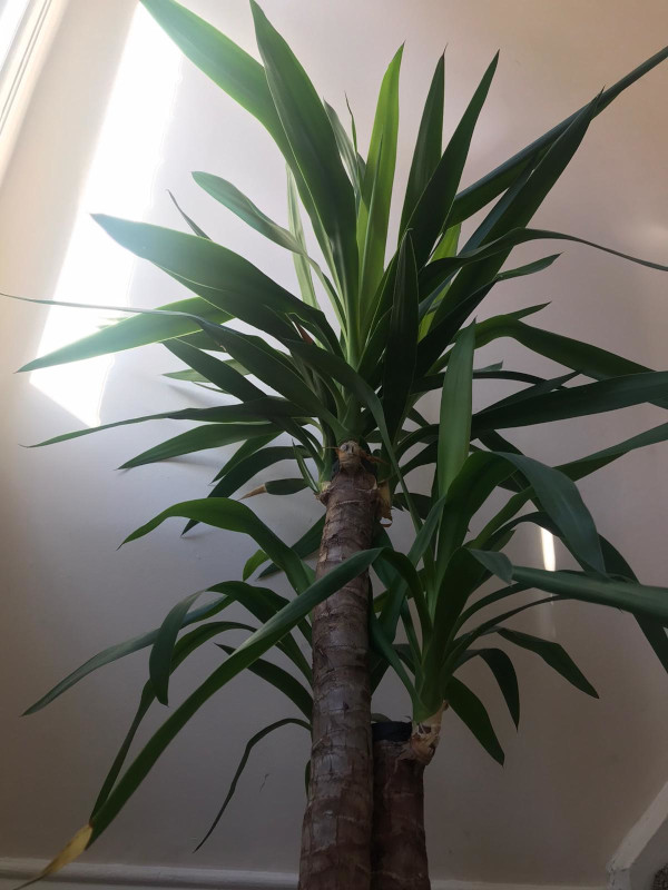 picture of yucca plant