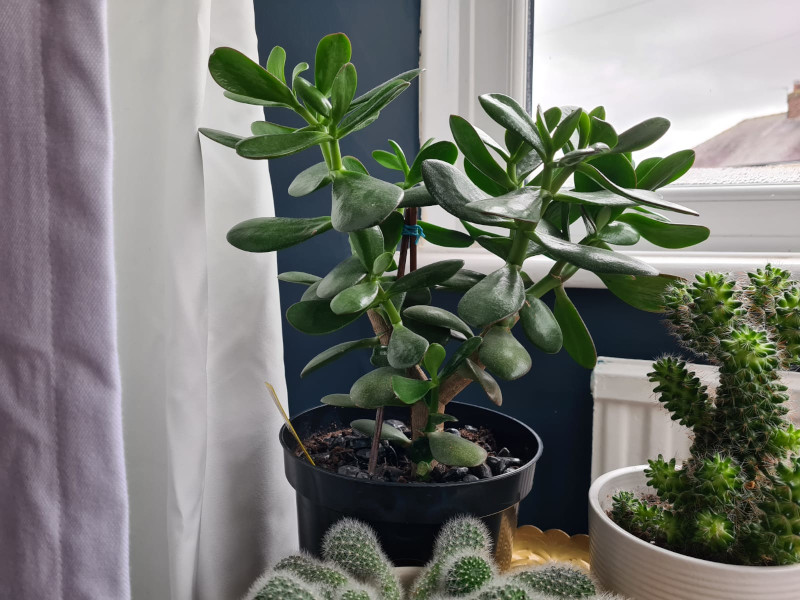 when to repot jade plants