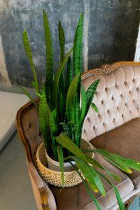 snake plant wrinkled leaves