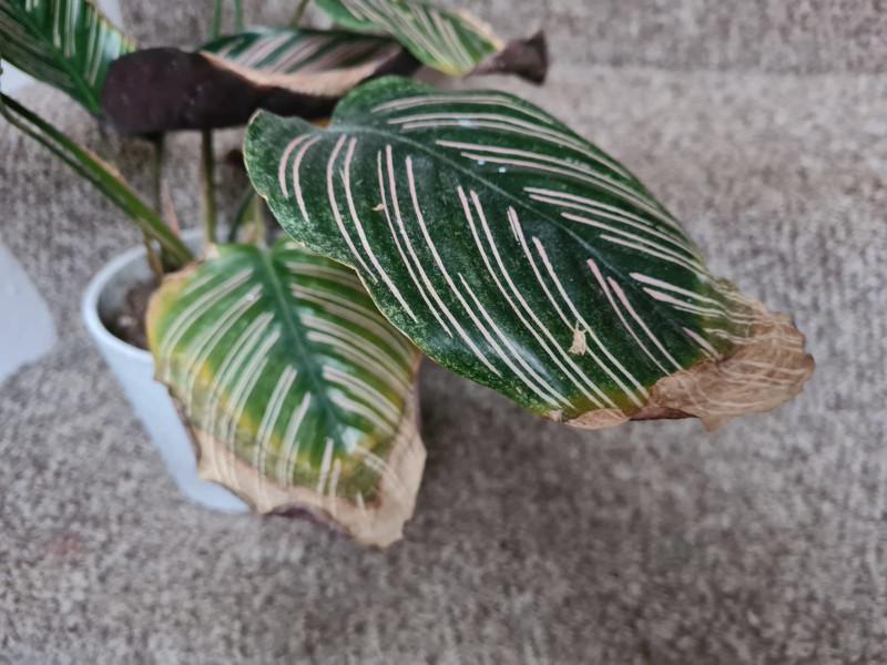 calathea crispy edges