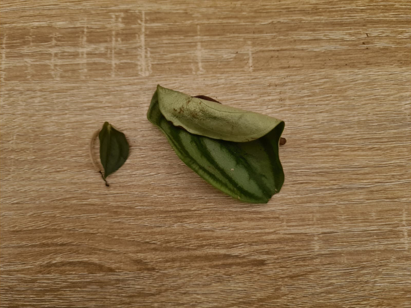 peperomia leaves falling off