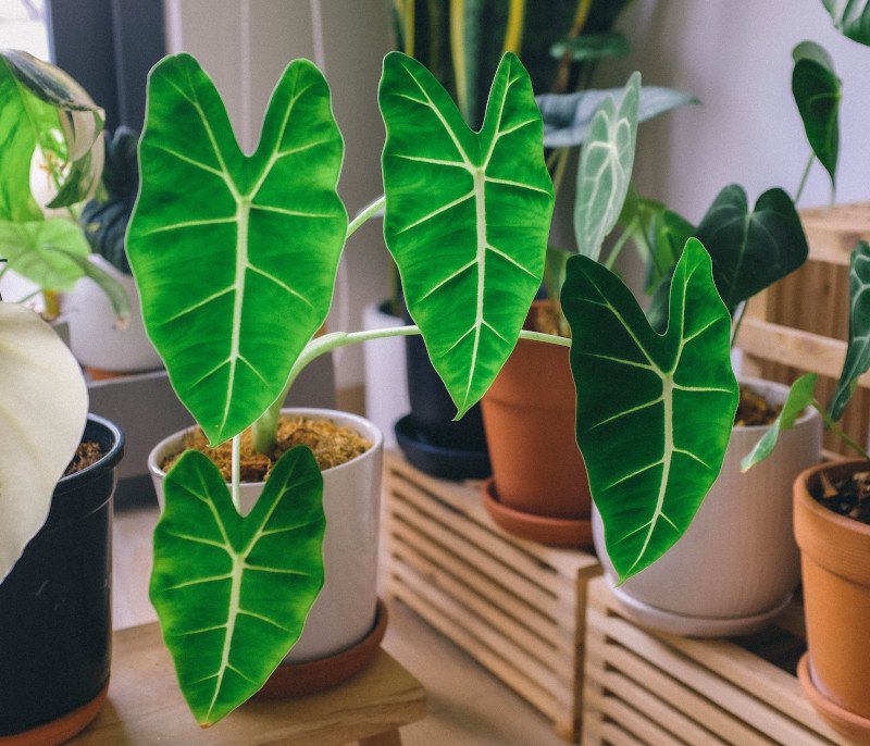 humidifiers for alocasia