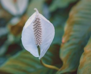 humidifiers for peace lilies