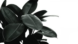 rubber plant drooping leaves