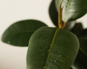 rubber plant dropping leaves