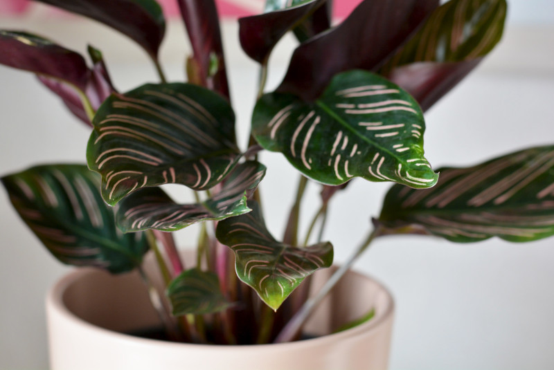 why is my calathea dying