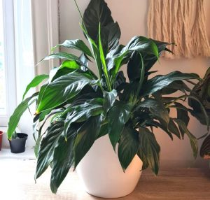peace lily leaves drooping