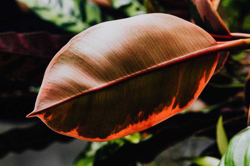 how to clean rubber plant leaves